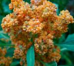Quinoa pianta